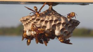 Paper Wasp Removal Services
